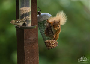 Nutmeg the Red Squirrel